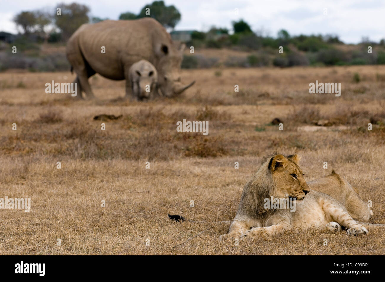 Lion and White Rhinos, Kwandwe Game Reserve, Eastern Cape, South Africa - Stock Image