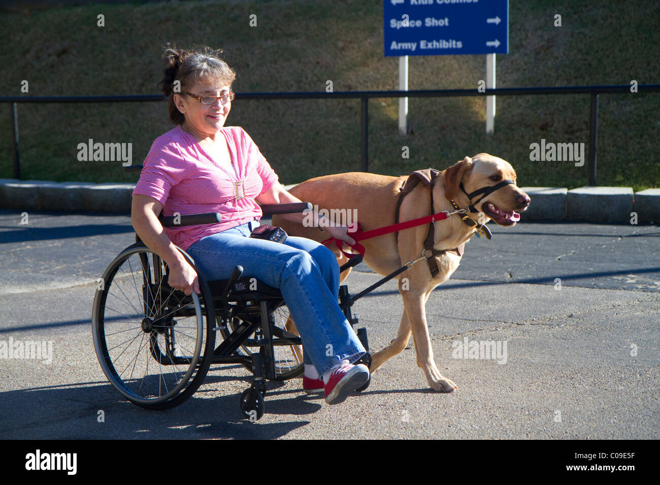 Disabled woman in a wheelchair using a service dog for help. - Stock Image