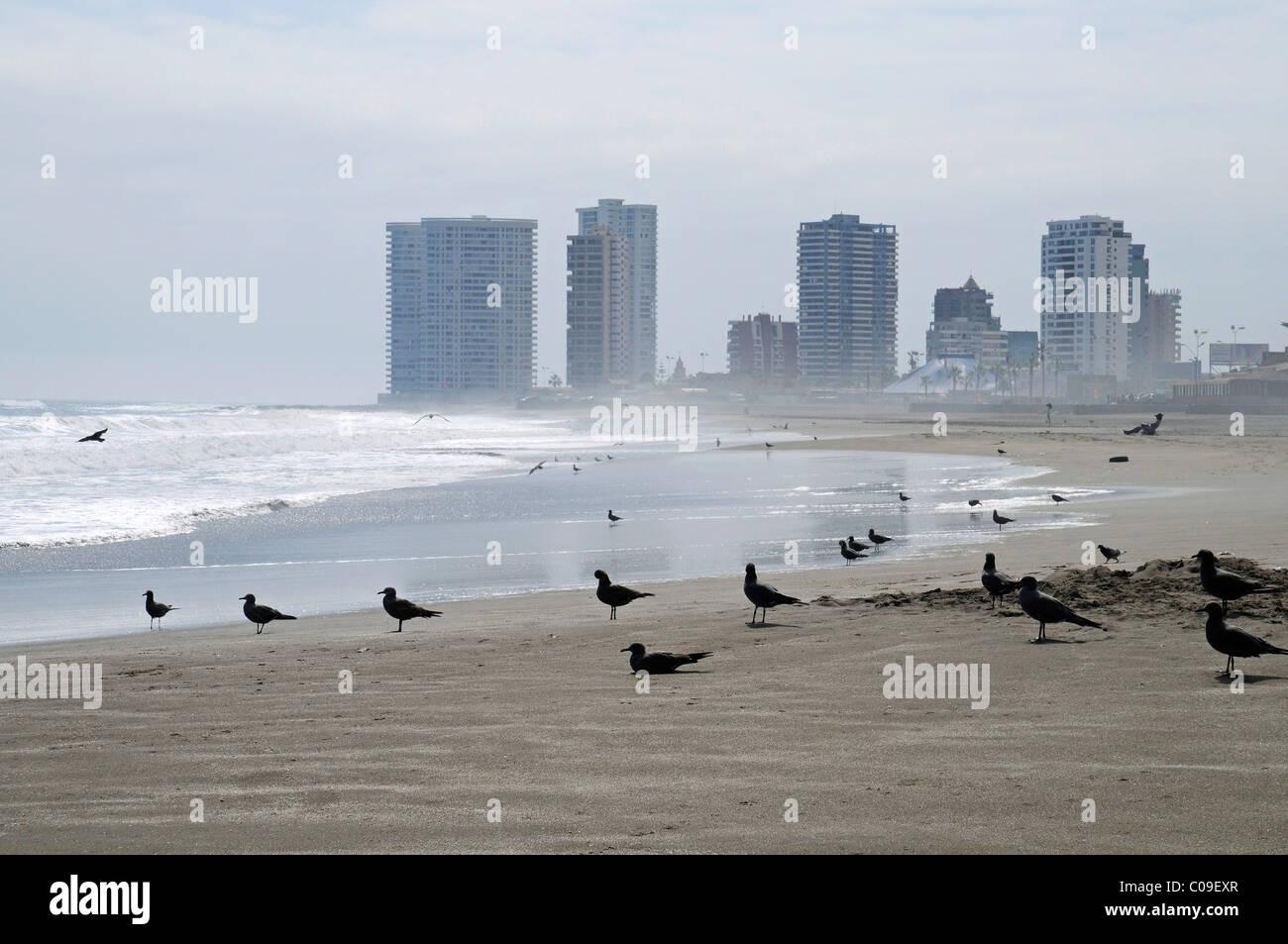 Seabirds, waves, multistory buildings, backlit, Playa Brava beach, empty beach, Iquique, Norte Grande, northern - Stock Image