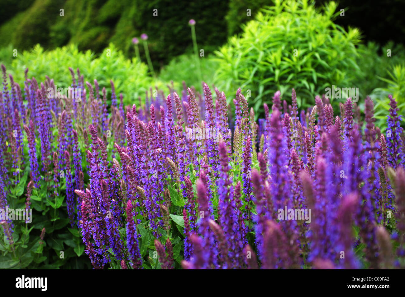 Salvia nemorosa - Stock Image