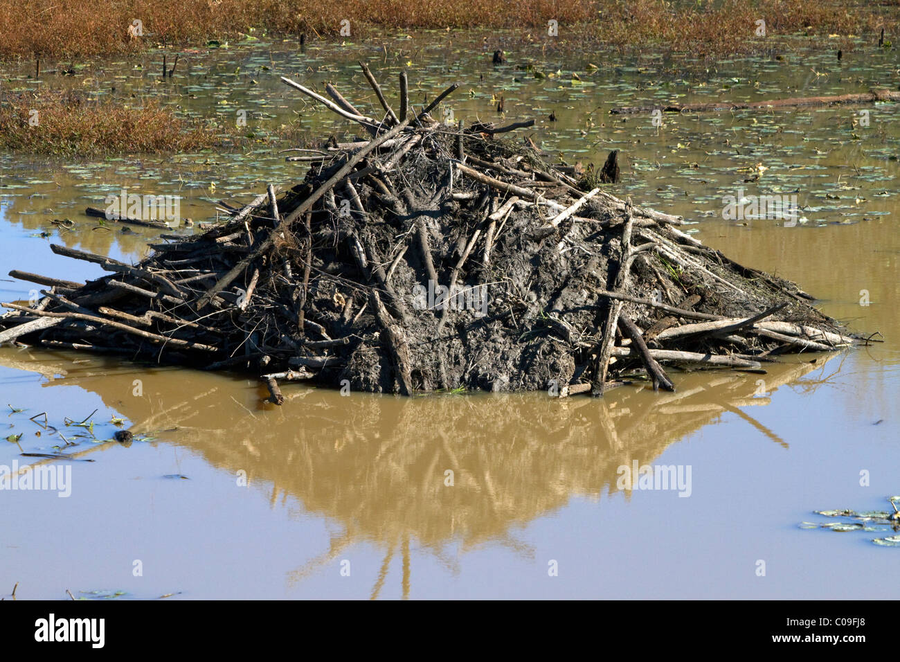Beaver lodge in a swamp along the Tombigbee River north of Tupelo Mississippi, USA. - Stock Image