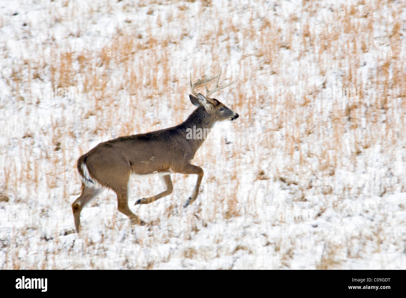 White-tailed Deer Buck with Broken Antler Tine Running through Snow Covered Field in Cades Cove in the Great Smokey - Stock Image