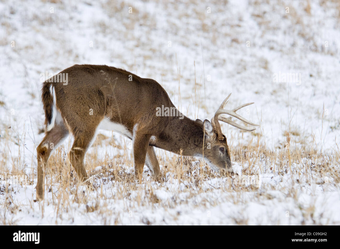 White-tailed Deer Buck With Broken Antler Tine Grazing in Snow Covered Field in Cades Cove in the Great Smokey Mountains - Stock Image