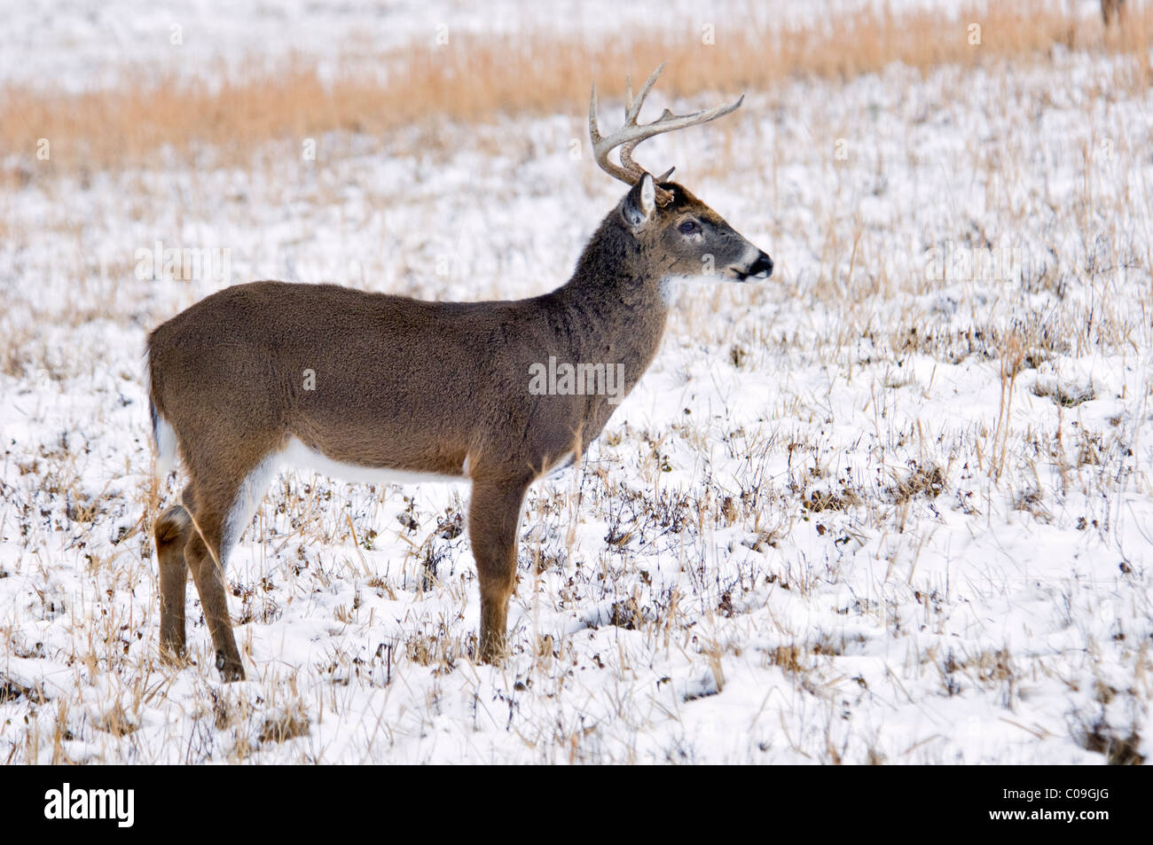 White-tailed Deer Buck With Broken Antler Tine in Snow Covered Field in Cades Cove in the Great Smokey Mountains - Stock Image