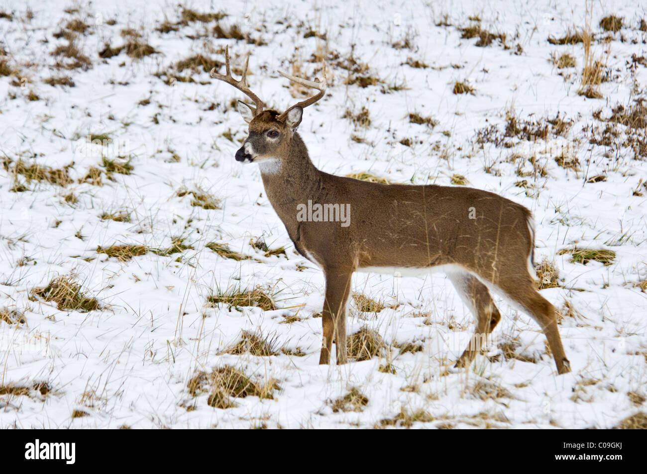 Alert White-tailed Deer Buck With Broken Antler Tine in Snow Covered Field in Cades Cove in the Great Smokey Mountains - Stock Image