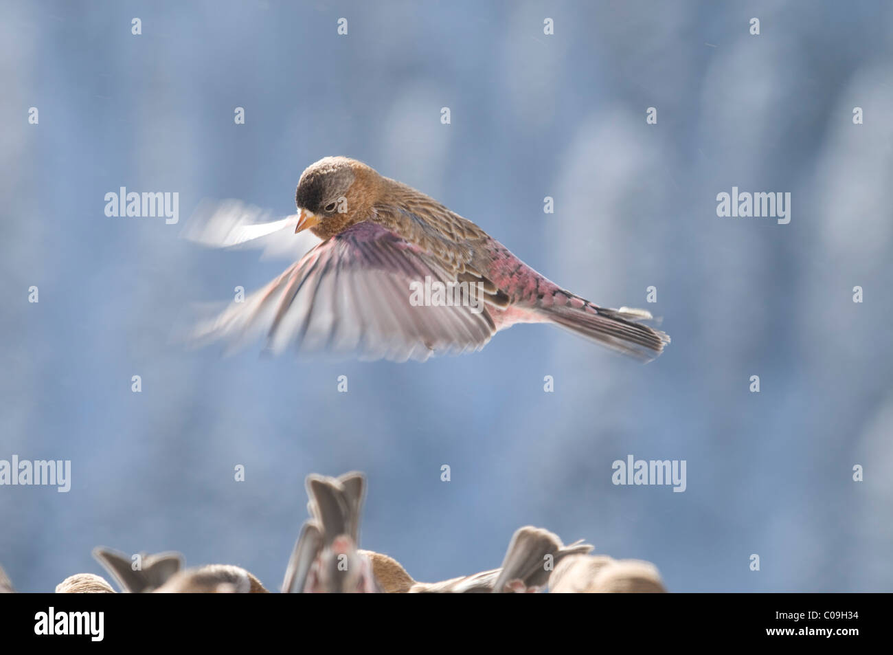 Looking for a Place to Land:  Brown-capped Rosy Finch (Leucosticte australis) in Flight - Stock Image
