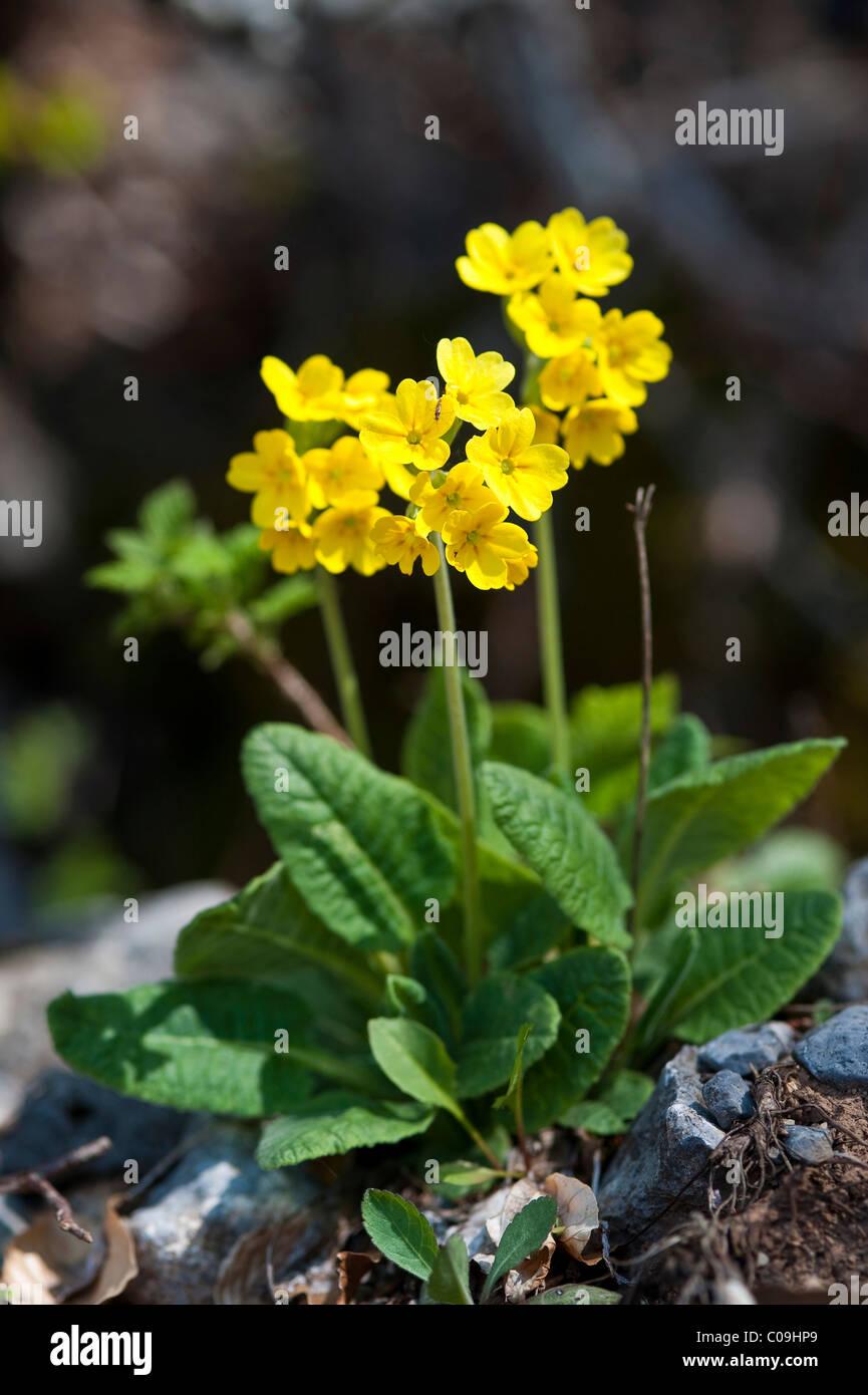Primroses (Primula officinalis), National Park Northern Velebit, Lika-Senj County, Croatia, Europe Stock Photo