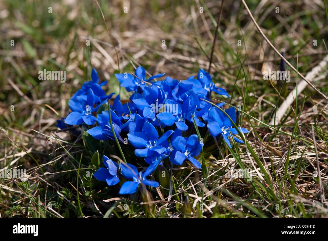 Spring Gentian (Gentiana verna), National Park Northern Velebit, Lika-Senj County, Croatia, Europe Stock Photo