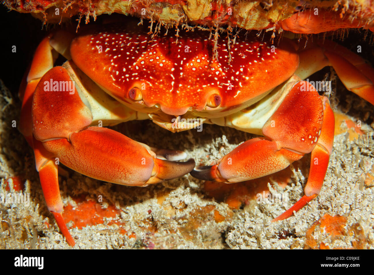 Batwing Coral Crab (Carpilius corallinus), Little Tobago, Speyside, Trinidad and Tobago, Lesser Antilles, Caribbean - Stock Image