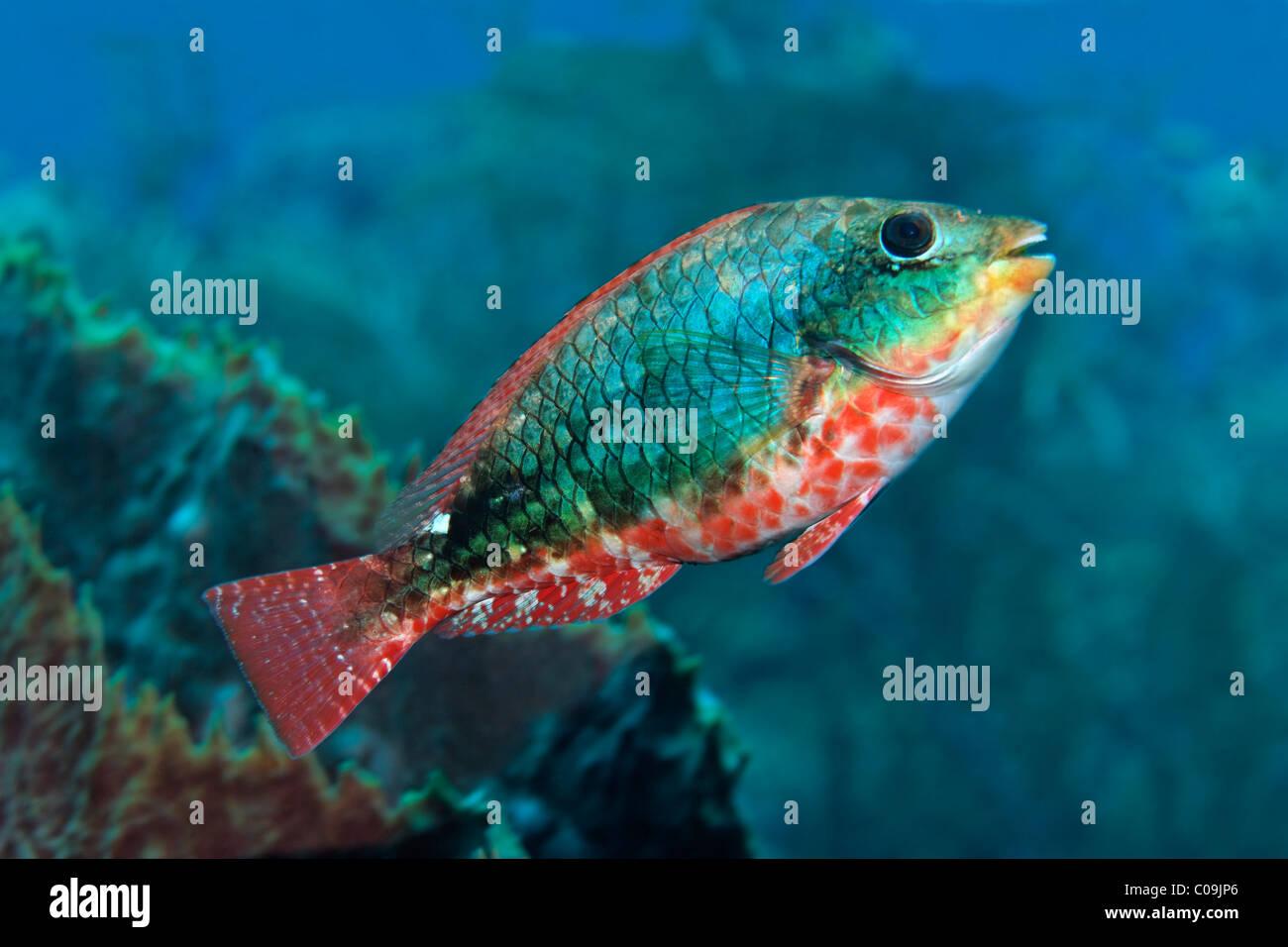 Redband Parrotfish (Sparisoma aurofrenatum), Little Tobago, Speyside, Trinidad and Tobago, Lesser Antilles, Caribbean - Stock Image