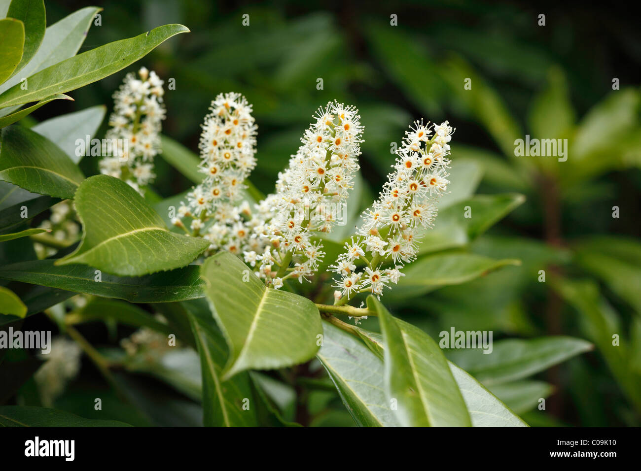 Cherry laurel (Prunus laurocerasus) blossoms, Ireland, Europe - Stock Image