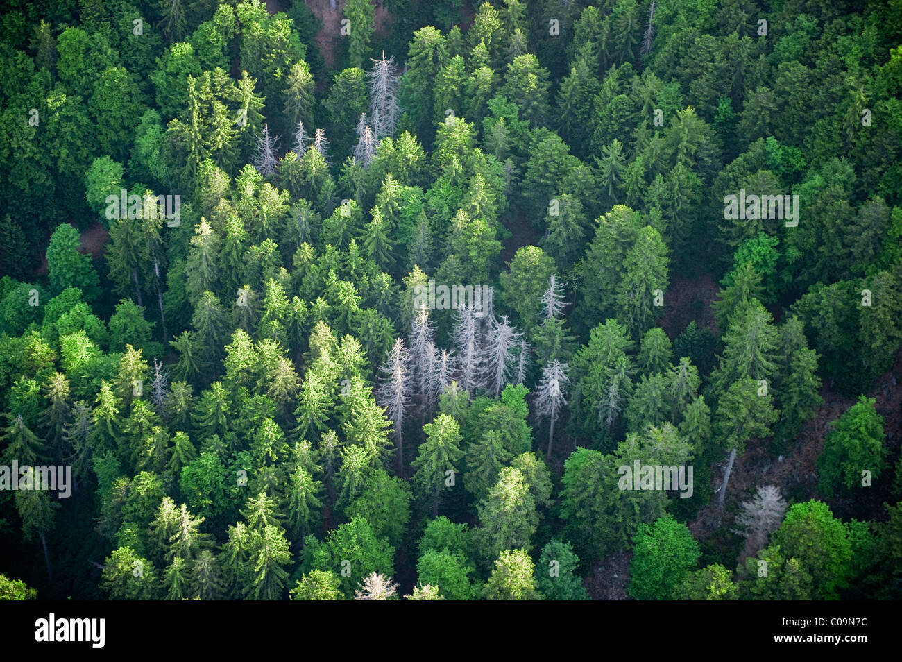 Aerial view of a conifer forest, forest decline, southern Black Forest, Baden-Wuerttemberg, Germany, Europe - Stock Image