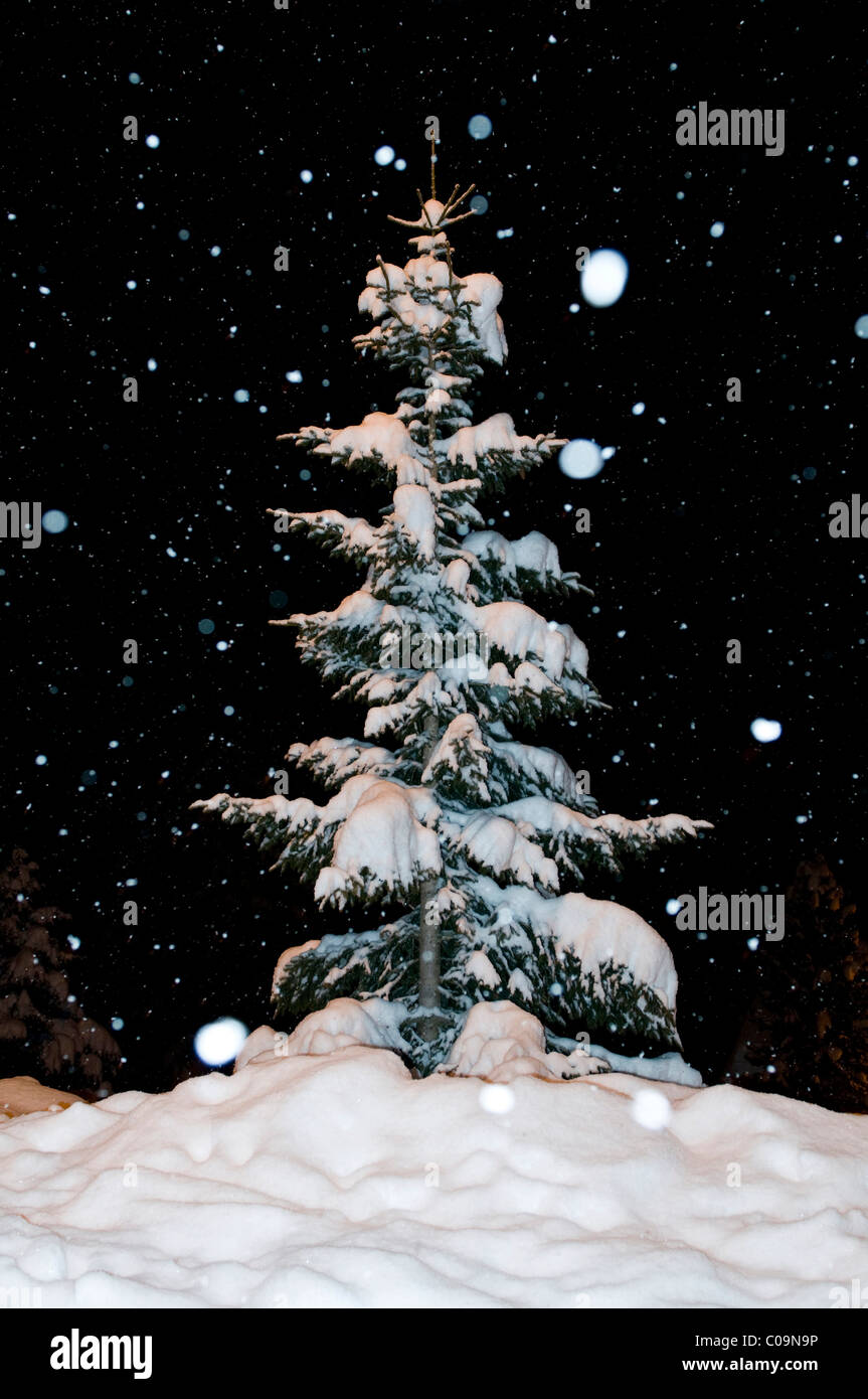 Snow-covered fir tree with snow flakes at night - Stock Image