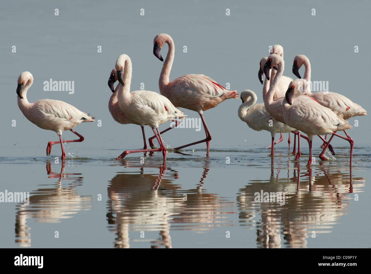 Lesser flamingos (Phoenicopterus minor), courtship display, Lake Nakuru, Kenya, Africa Stock Photo