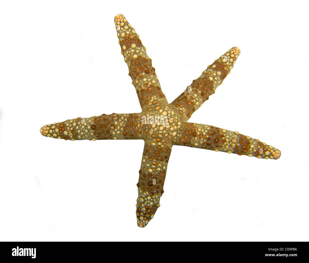 Thick-skinned sea star (Echinaster callosus) - Stock Image