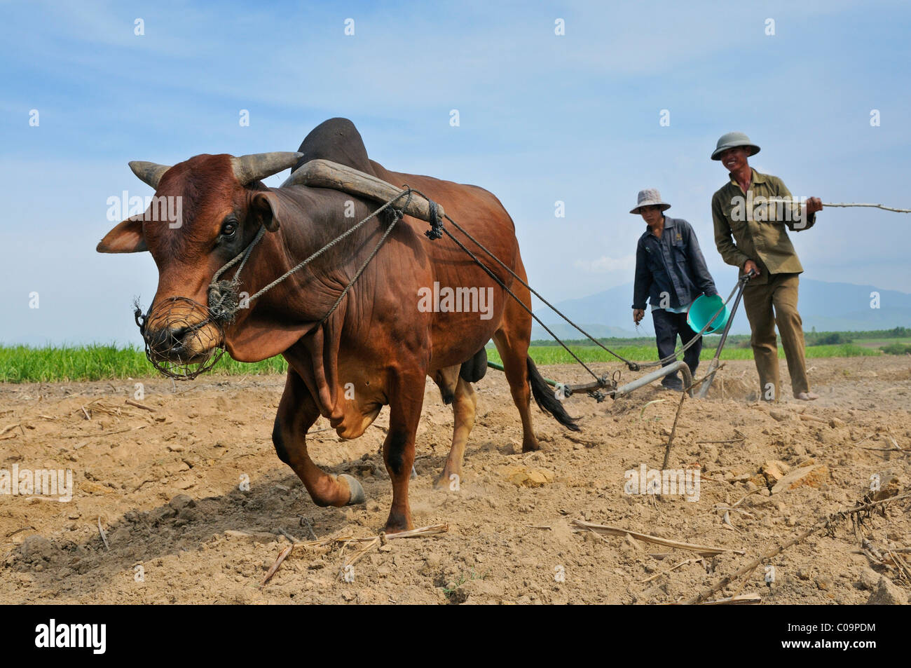 Two men with ox-cart seeding sugar cane, Vietnam, Southeast Asia - Stock Image