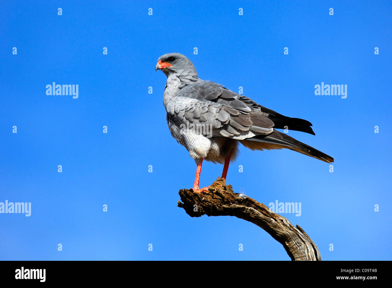 Pale Chanting Goshawk (Melierax canorus) perched, Madikwe Game Reserve, South Africa, Africa - Stock Image