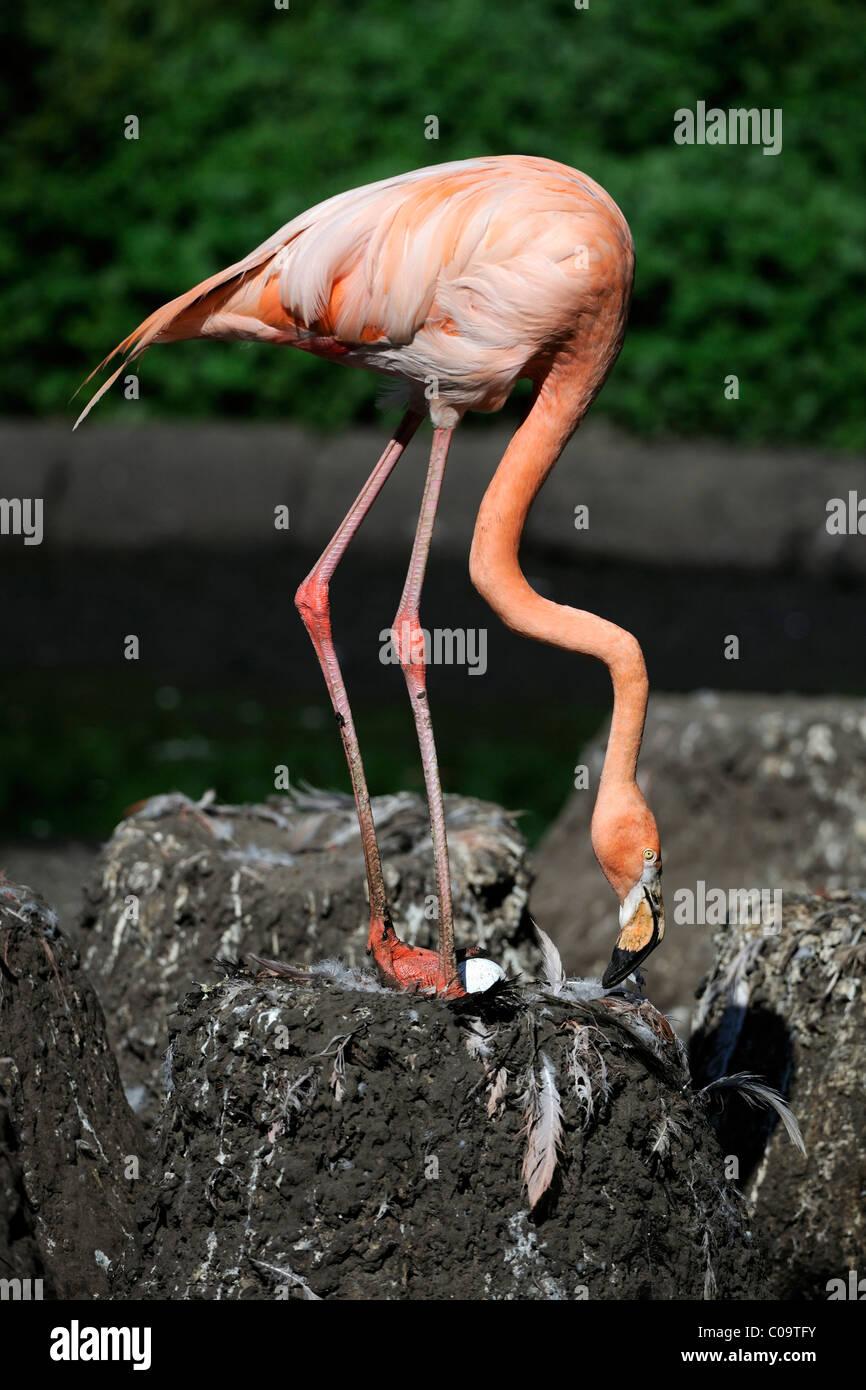Flamingo nest - photo#47
