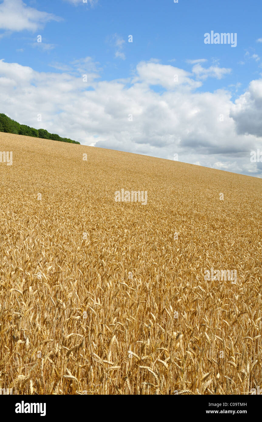 English wheat field in summer, UK. - Stock Image