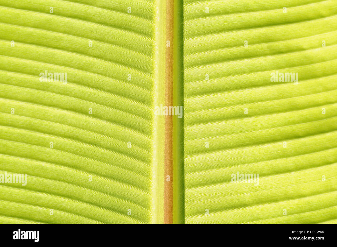 Detail of petiole and leaf blade of a banana plant (Musa) - Stock Image