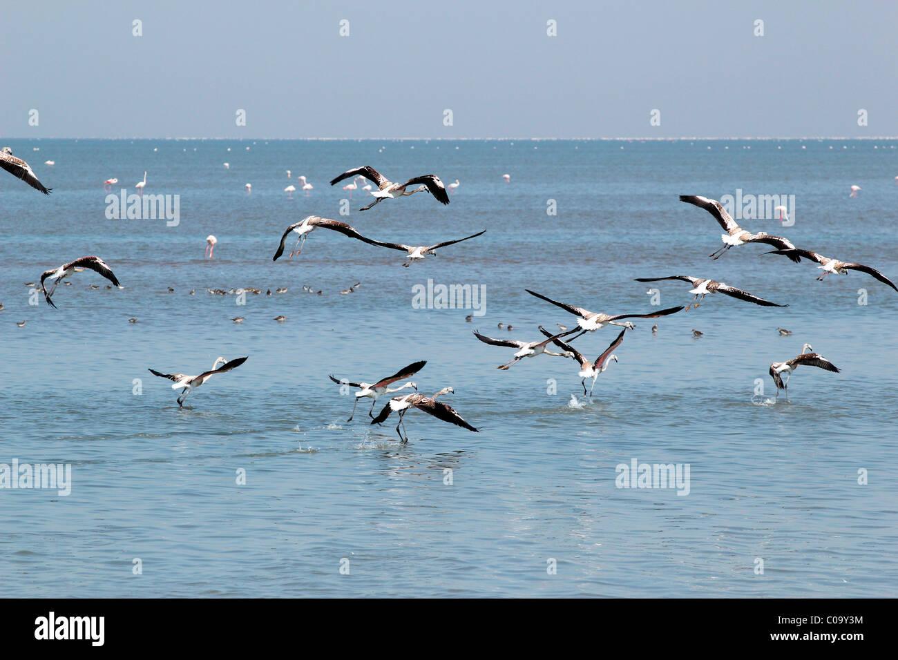 Flamingo birds in Rann of Kutch, Gujarat, India - Stock Image