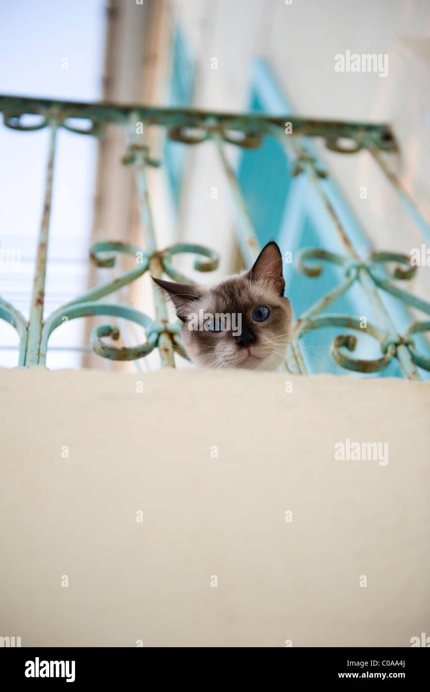 Inquisitive Siamese cat on a balcony at Barrettali. Cap Corse. Corsica. France Stock Photo