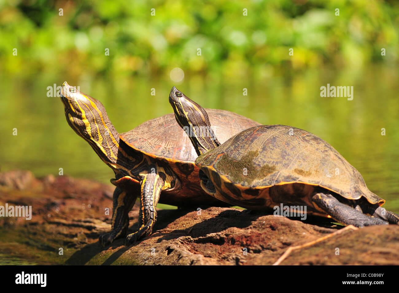 River Turtles in Tortugureo National Park Costa Rica 2011 - Stock Image