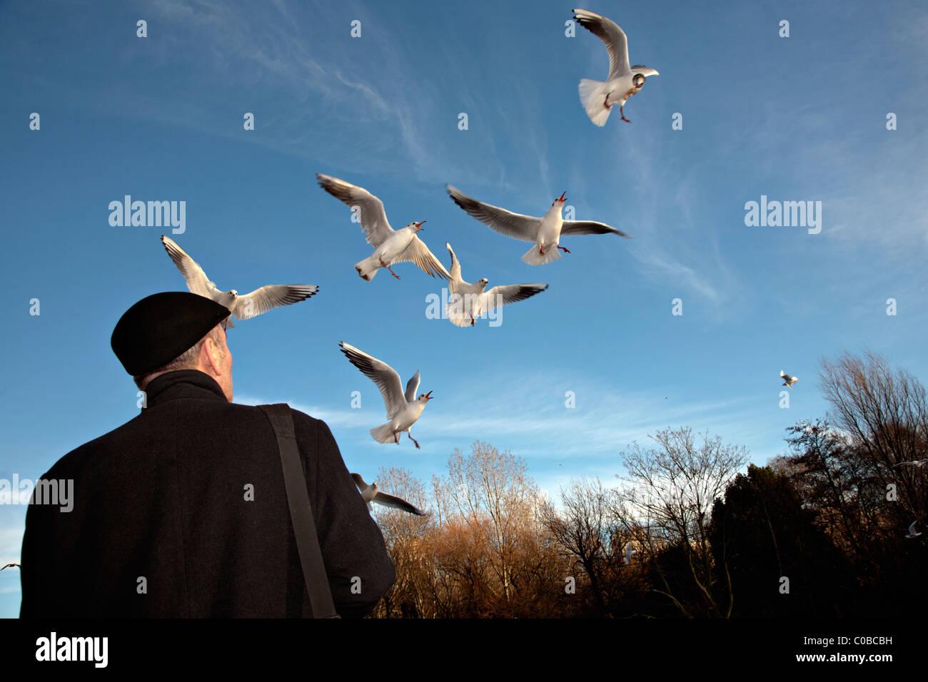 man feeding gulls in london - Stock Image