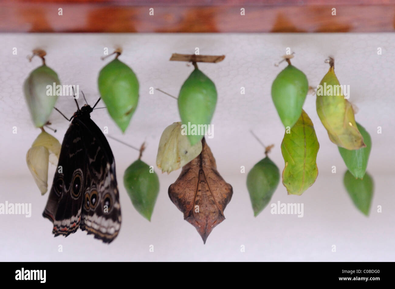 Pupa cases in Butterfly Garden, Monteverde Costa Rica - Stock Image