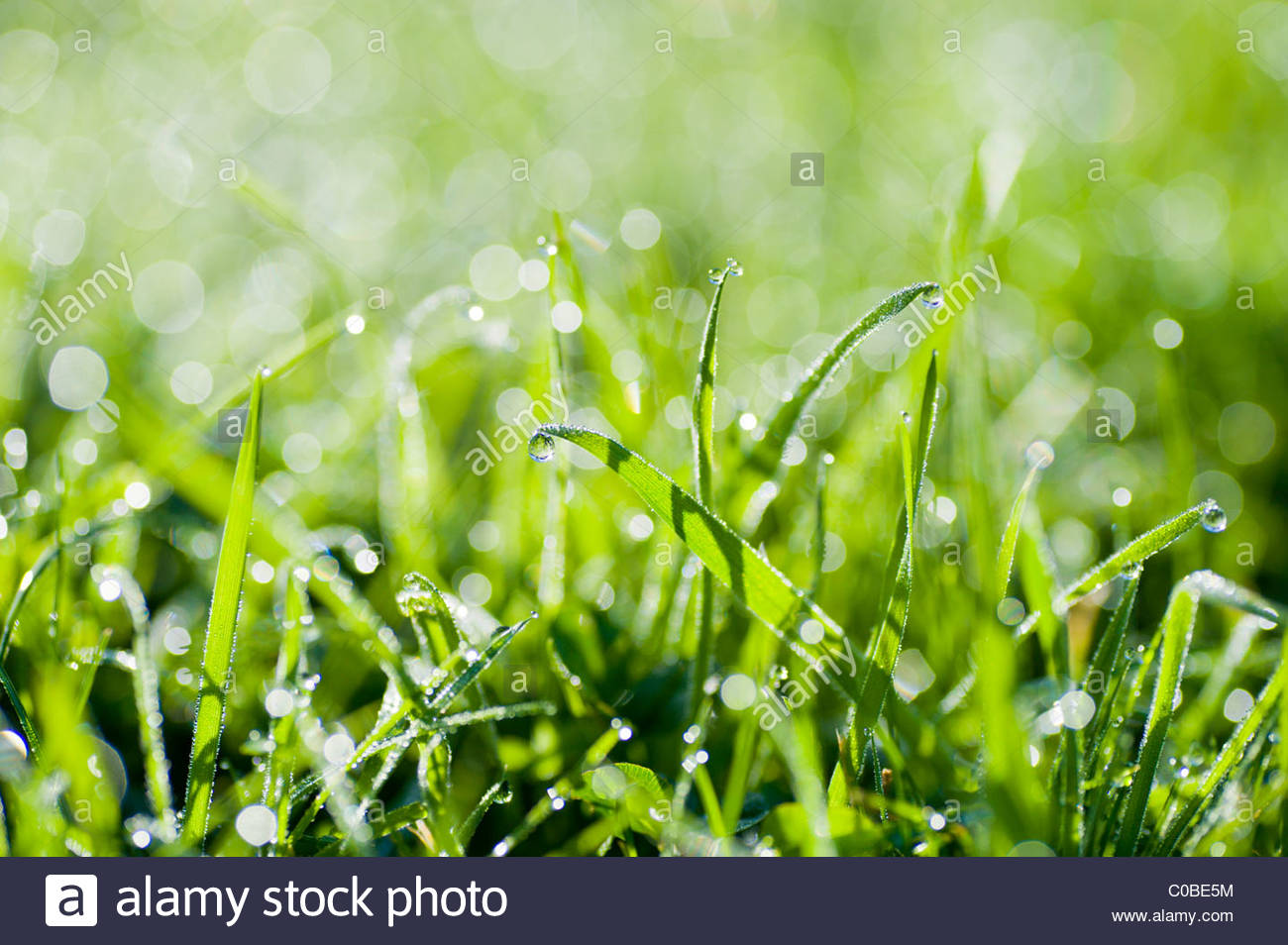 Close up of dew drops on grass. - Stock Image