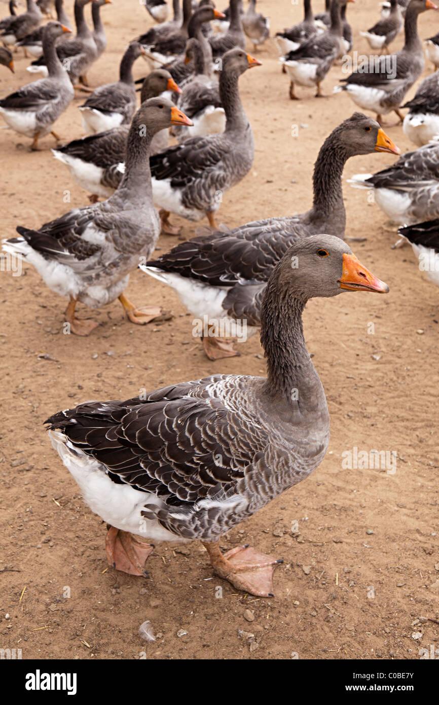 Geese bred for foie gras Dordogne France - Stock Image