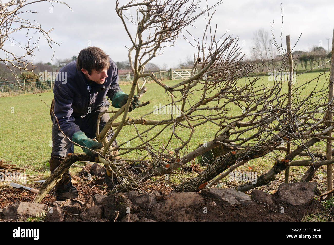 Man layering a hedge - an old traditional Irish method for creating thick hedges in fields - Stock Image