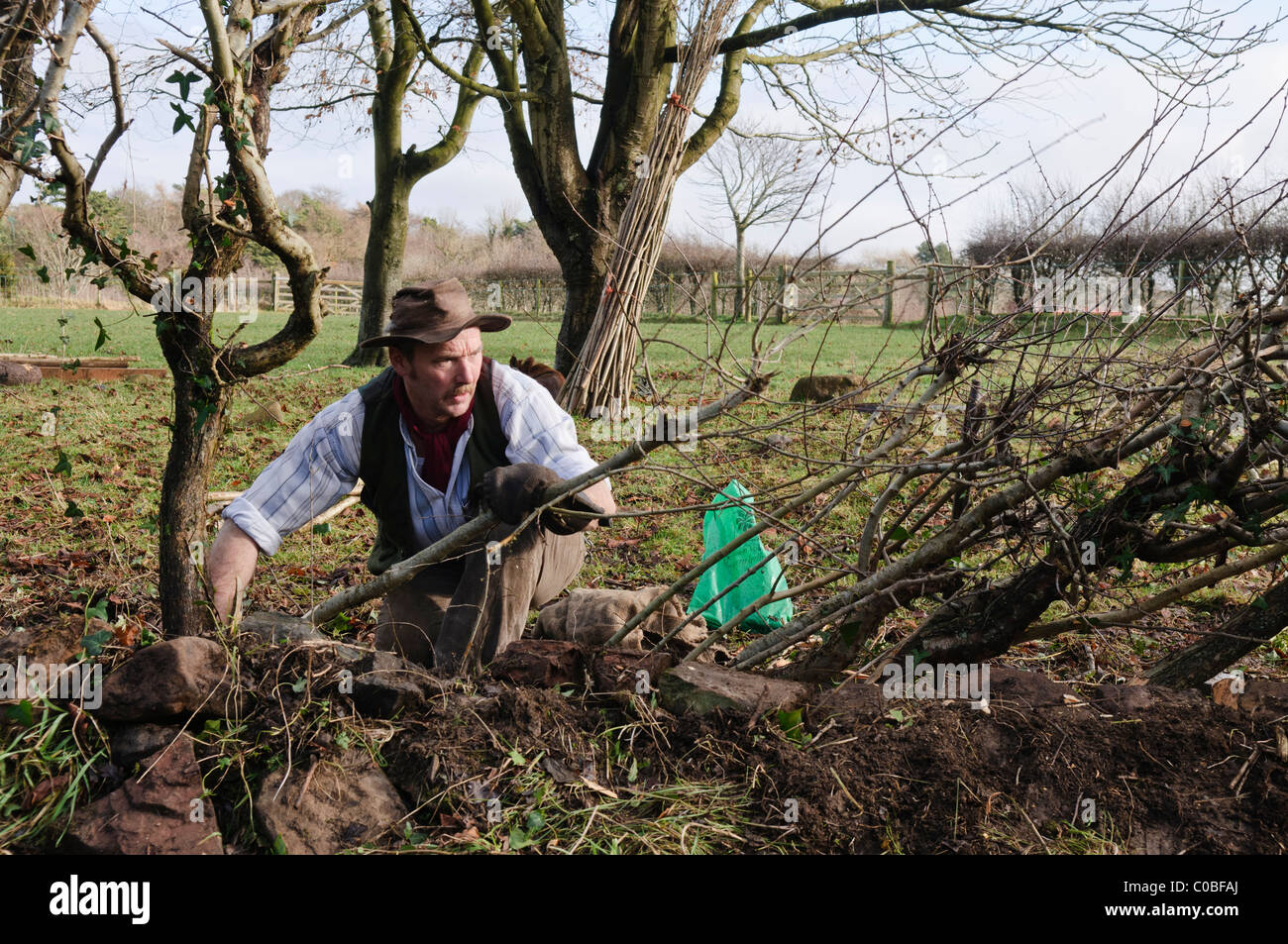 Man layering a hedge - an old traditional Irish method for creating thick hedges in fields Stock Photo