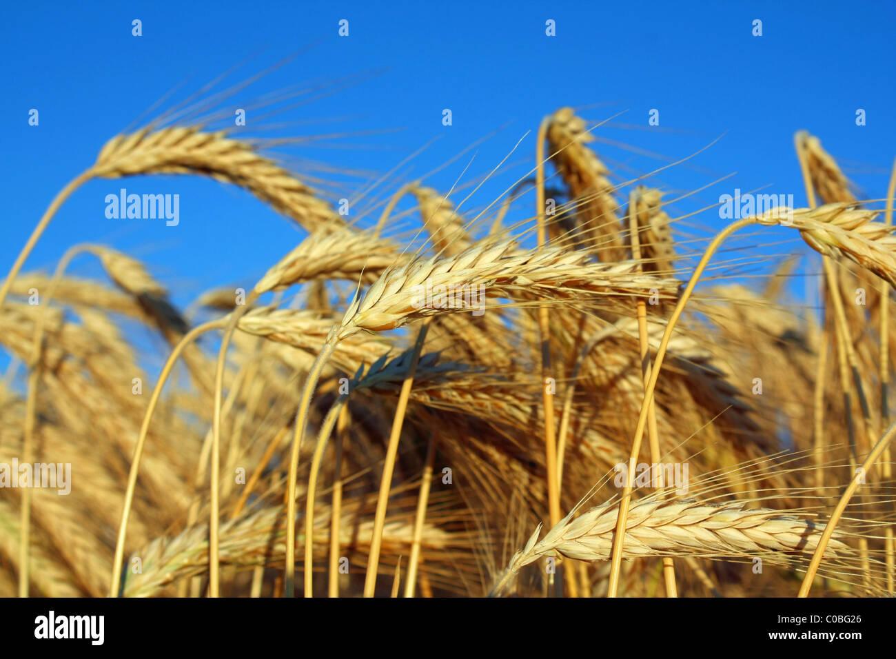 golden ripe wheat - Stock Image