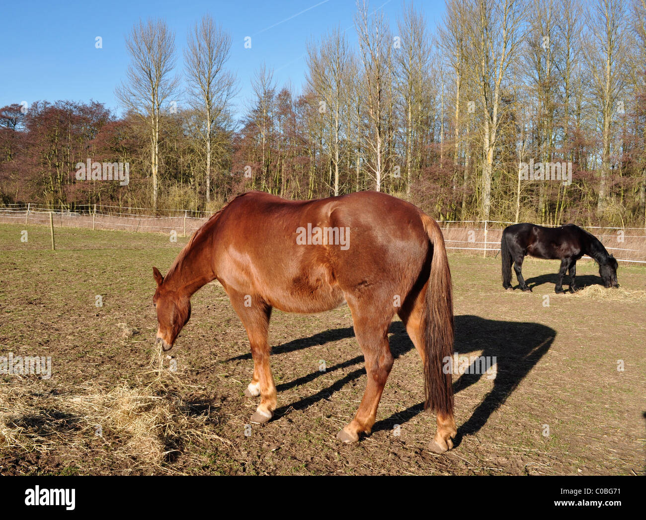 Show horses grazing at the end of winter, Norfolk, England - Stock Image
