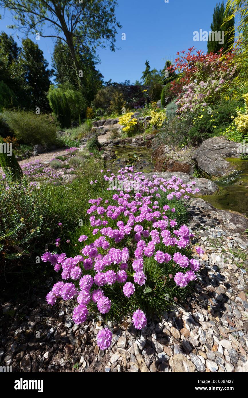 Thrift or sea pink Armeria maritima in garden rockery Dewstow Gardens Wales UK - Stock Image