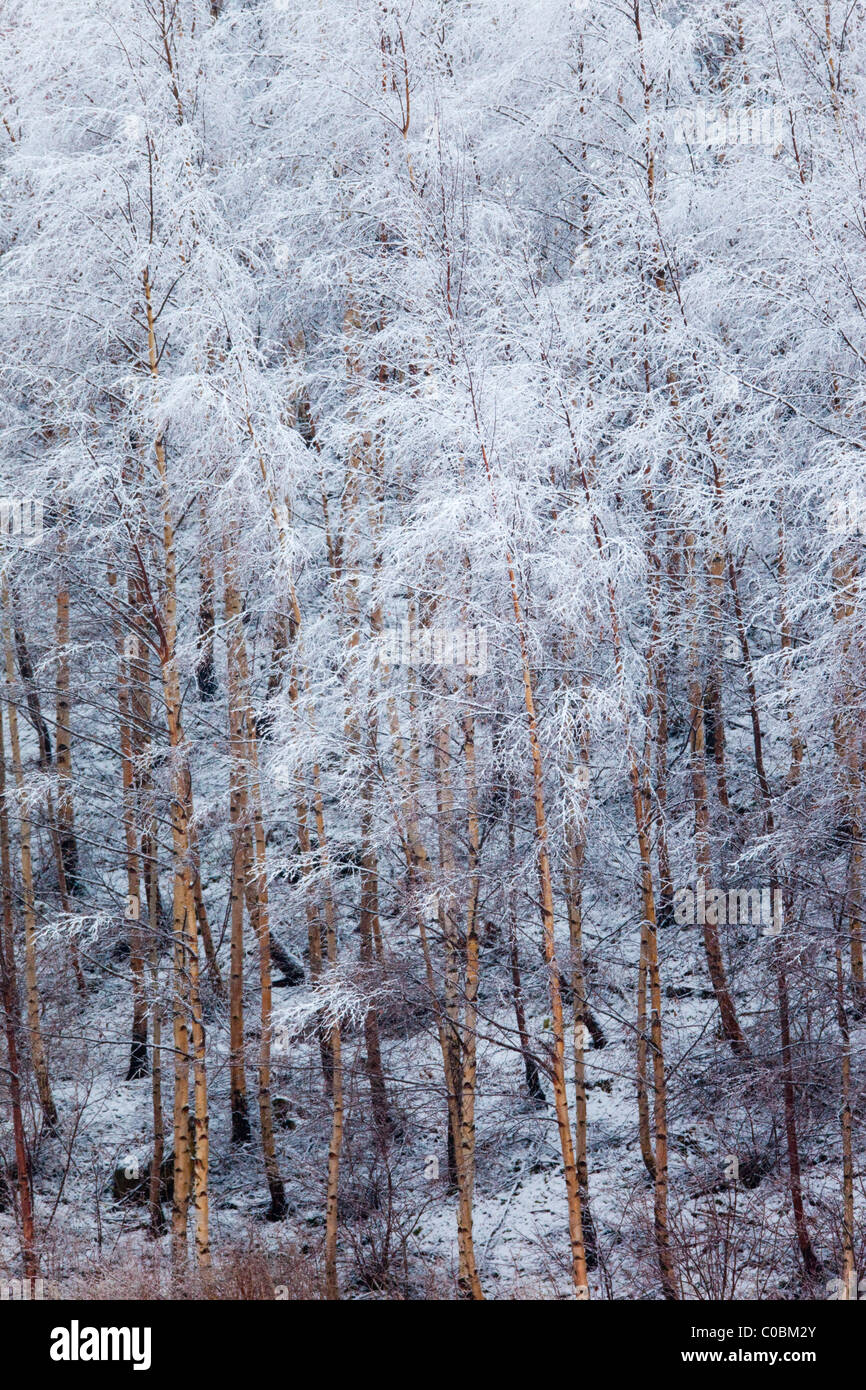 Birch Trees; Betula pendula; covered in snow; Norway - Stock Image