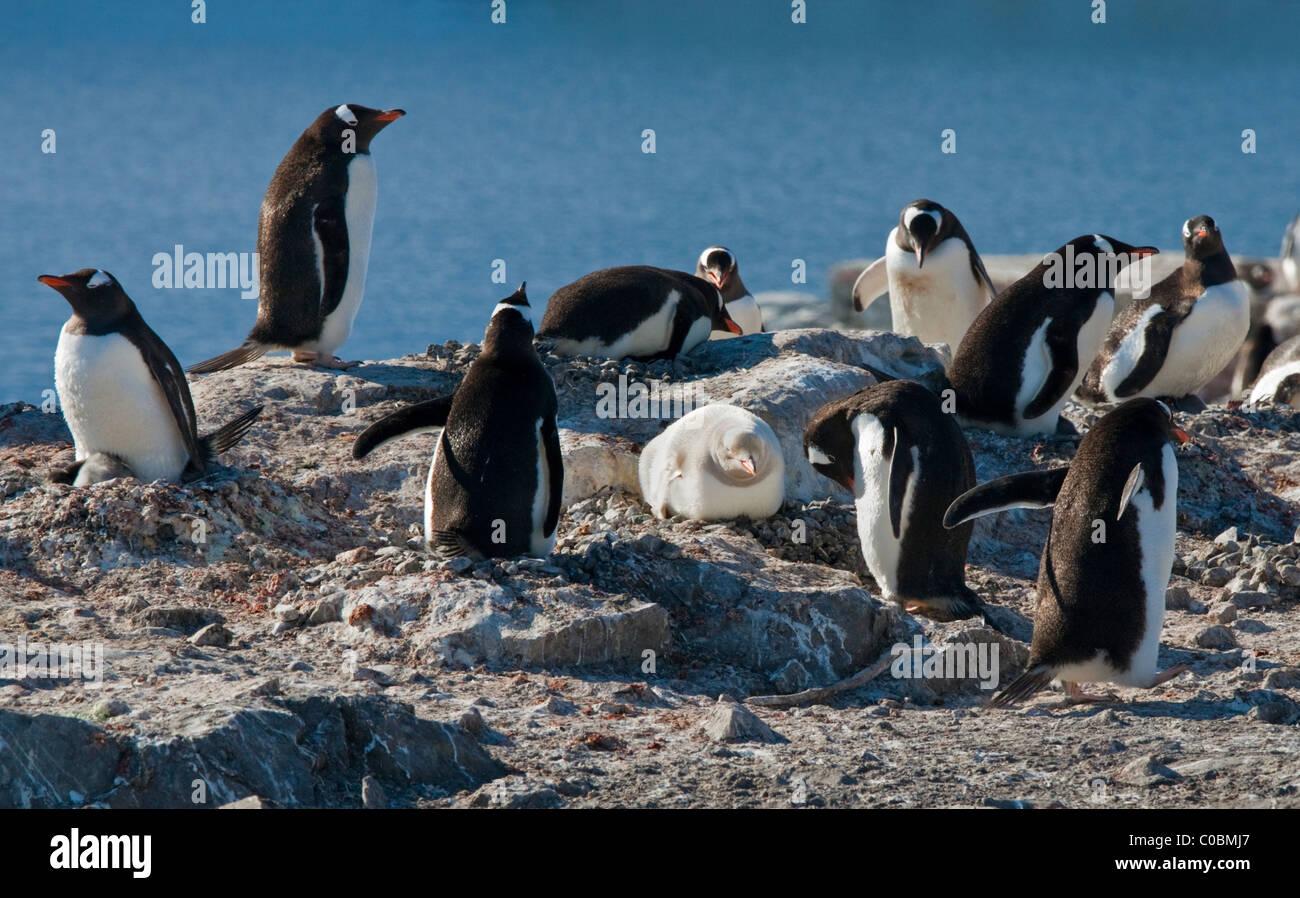 Gentoo Penguin (pygoscelis papua) colony with Leucistic Penguin on nest, Gonzalez Videla Chilean Base, Antarctic - Stock Image