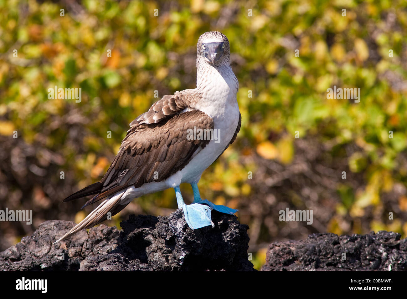 Blue-footed booby standing on a rock in the Galapagos Islands staring straight ahead. Blurred yellow green foliage - Stock Image
