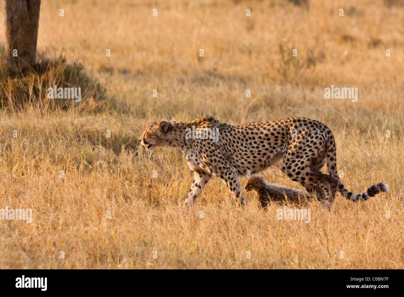 Injured Cheetah Stock Photos & Injured Cheetah Stock Images - Alamy