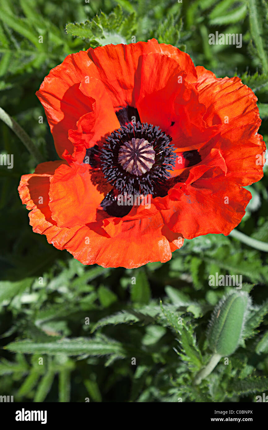 Oriental poppy flower papaver orientale flowering in garden wales uk oriental poppy flower papaver orientale flowering in garden wales uk mightylinksfo