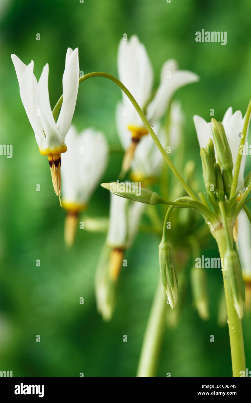 Dodecatheon meadia f. album AGM American cowslip, Shooting stars April - Stock Image