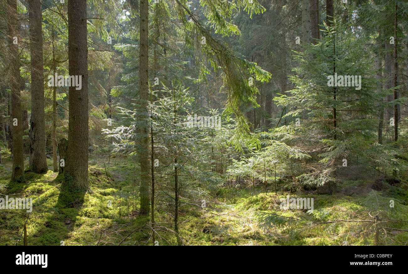 Young Norwegian spruces illuminated by spring midday sun in coniferous forest with moss on ground - Stock Image