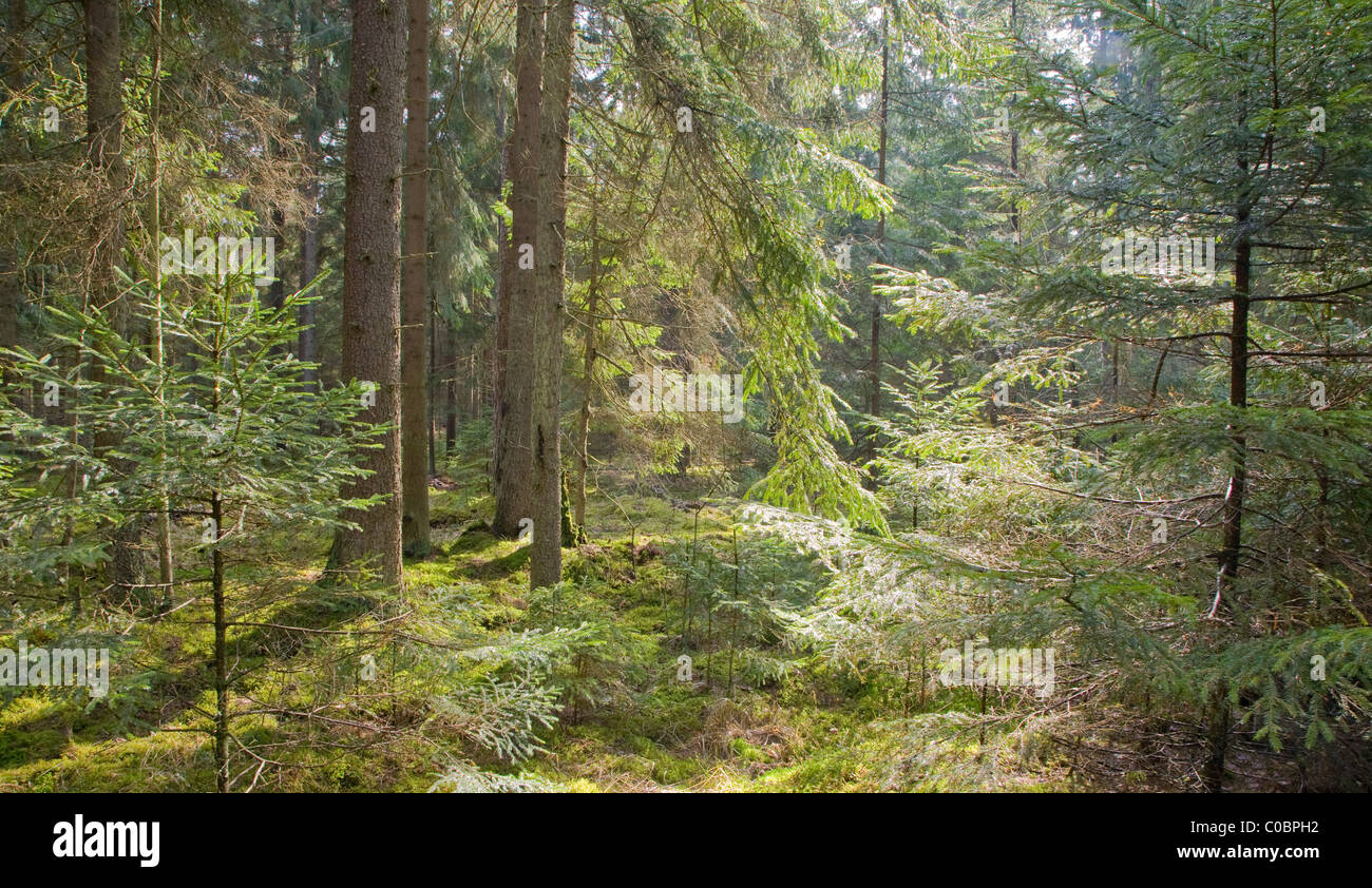 Young Norwegian spruces illuminated by spring midday sun in coniferous stand with moss on ground - Stock Image