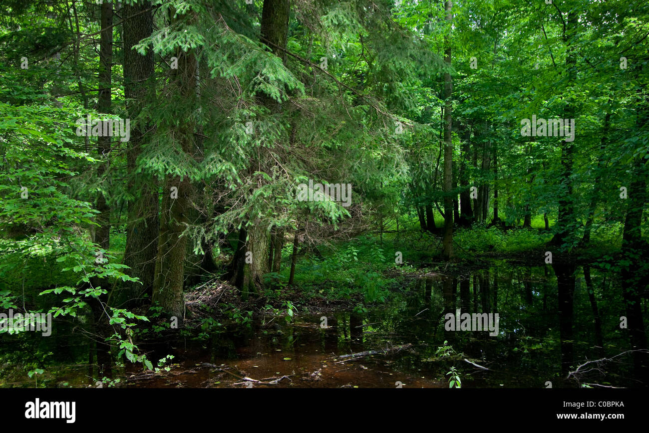 Norway spruce over standing water in front of deciduous stand in summer - Stock Image