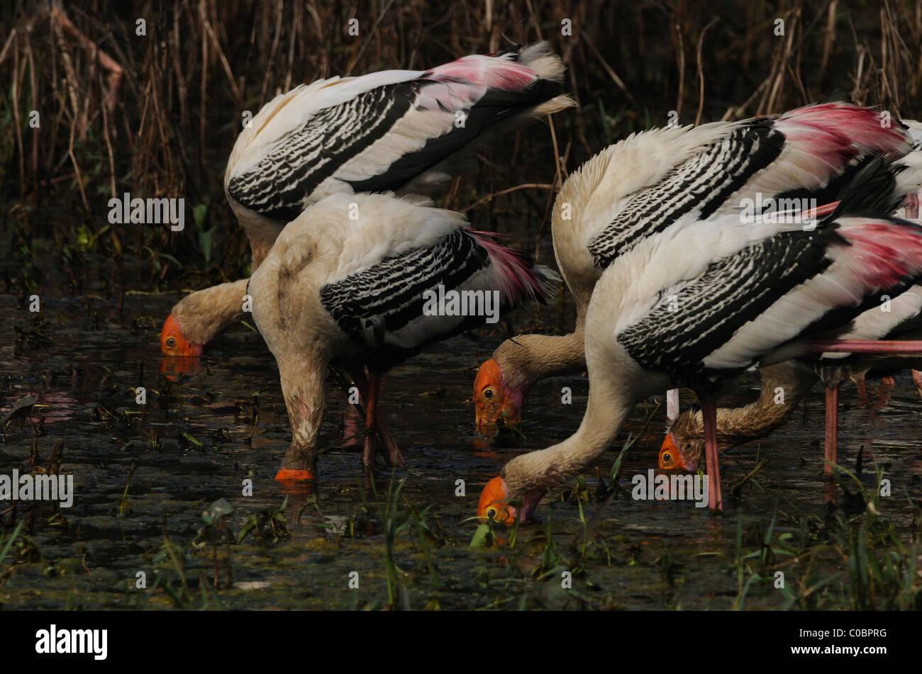 Painted storks feeding in Keoladeo Ghana National Park, Bharatpur, India - Stock Image