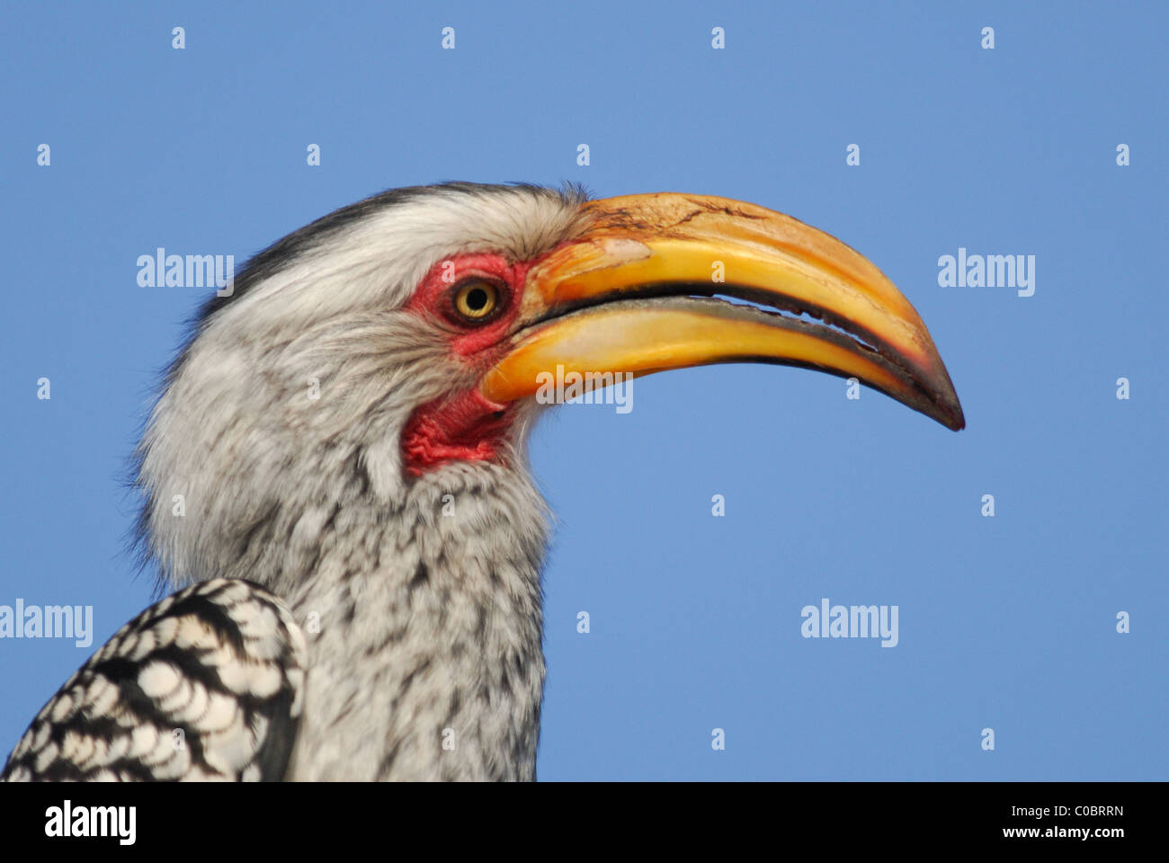 Southern Yellow-billed Hornbill (Tockus leucomelas) in Kruger National Park, South Africa. - Stock Image
