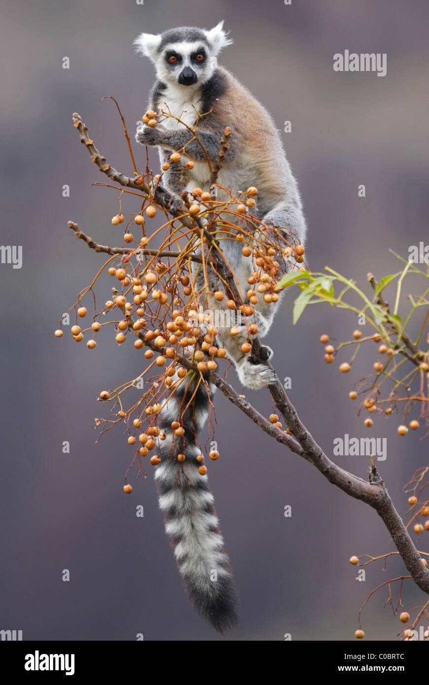 Ring-tailed Lemur feeding on fruit in the Anja Nature Reserve, central Madagascar Stock Photo