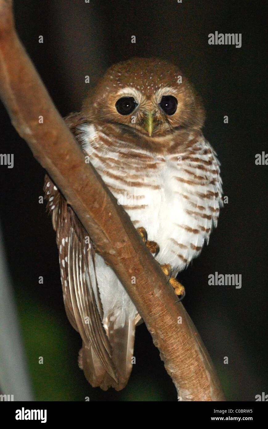 White-browed Owl (Ninox superciliaris) in the Berenty Nature Reserve, southern Madagascar - Stock Image