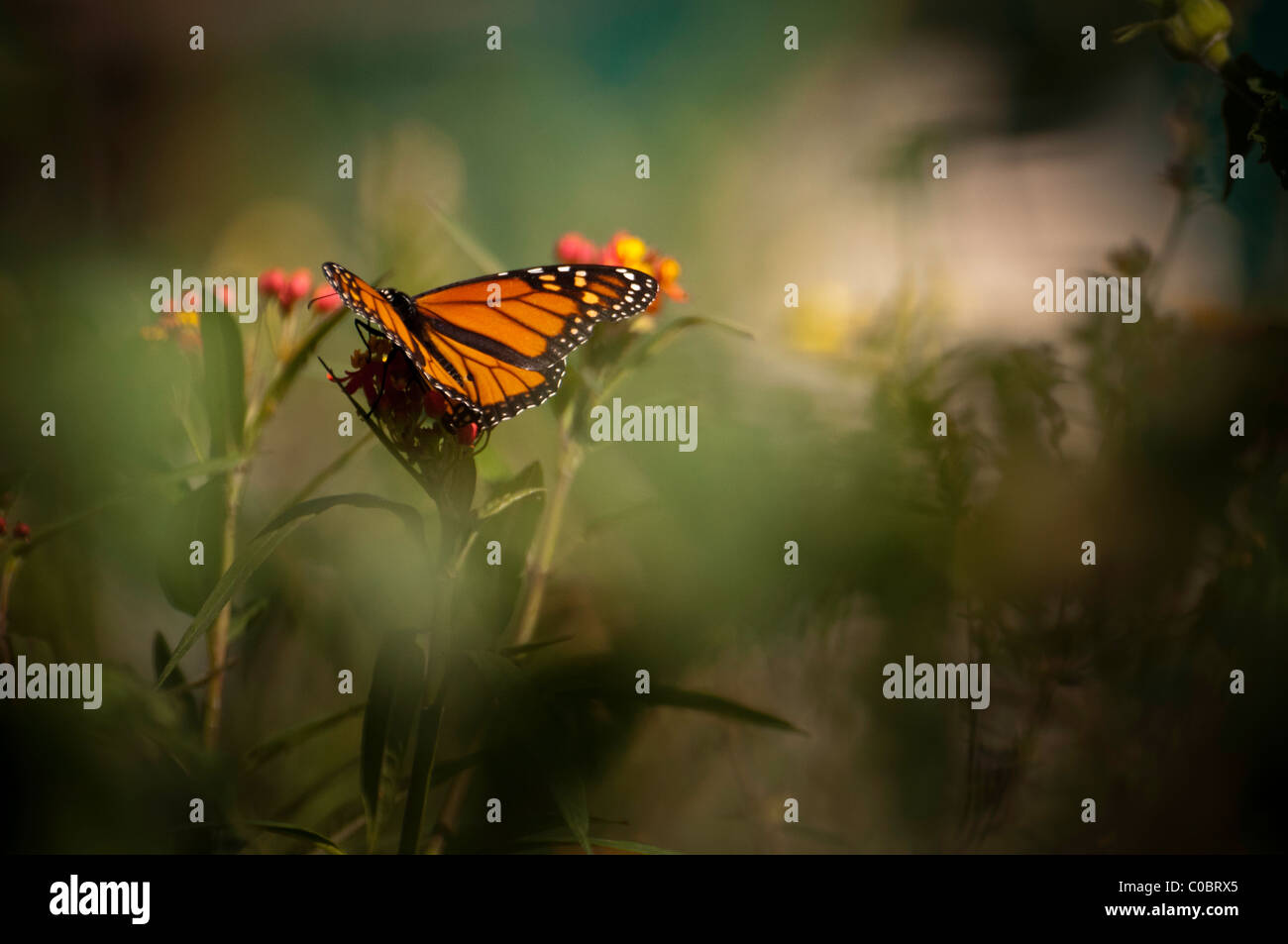 Monarch Butterflies Stock Photos & Monarch Butterflies Stock Images ...
